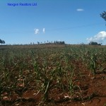 1/2 Acre Land – Kibiko Ngong